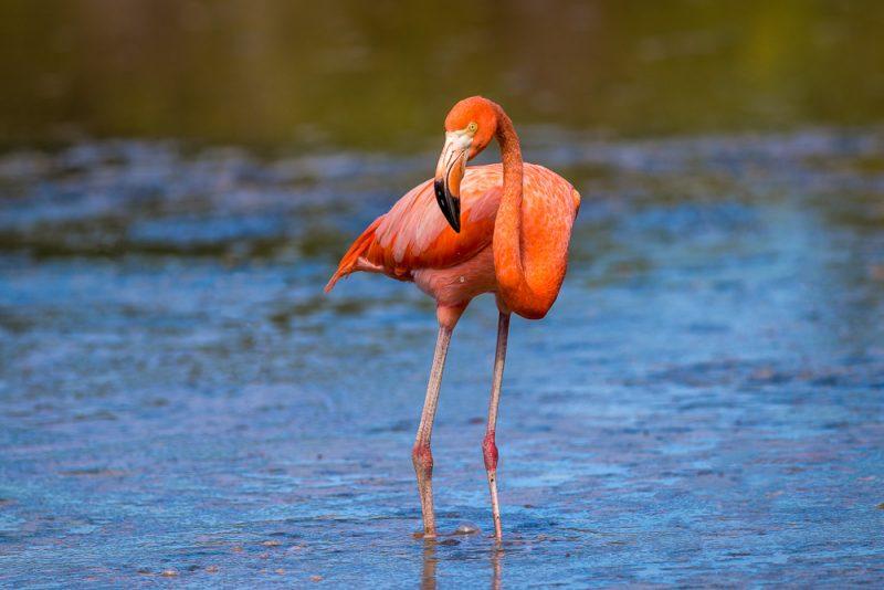 Flamingo in Celestun